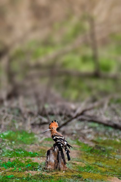 Colorful hoopoe bird sitting on dry trunk in forest