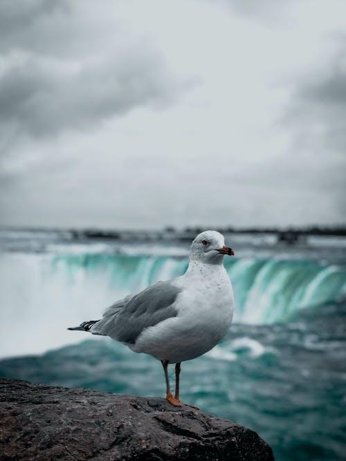 Gratis lagerfoto af Canada, due, fjer