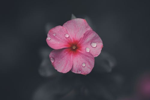 Pink Flower in Black Background