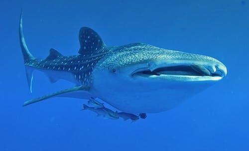 swim with whale sharks ningaloo reef