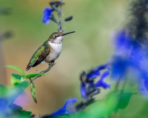 Closeup of small bird Colibri sitting on green branch with flowers against blurred background