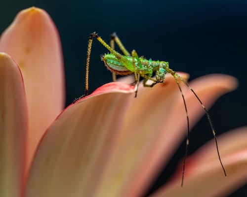 Green Grasshopper on Petal of A Flower