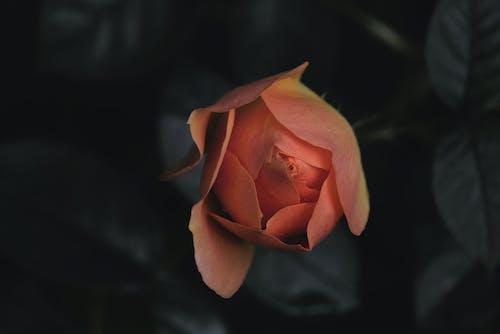 セレクティブフォーカス, フラワーズ, フローラ, ロマンスの無料の写真素材