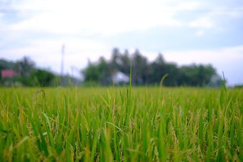 Foto stok gratis agrikultura, desa vietnam, Nasi, pertanian