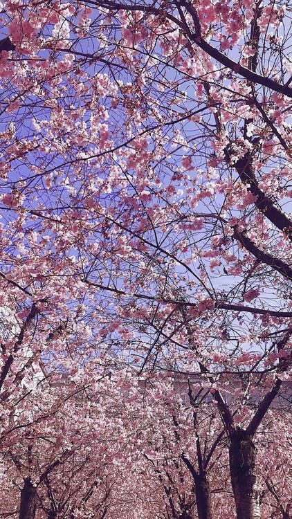 Free stock photo of blooming, branch, cherry