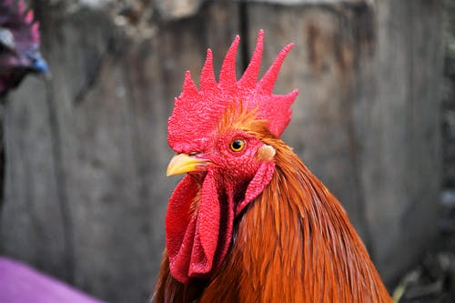 A Rooster in Close Up Photography