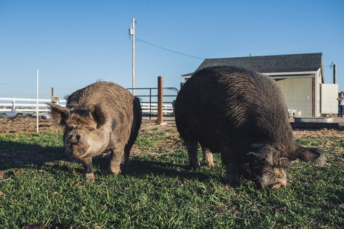 Black Boars on Green Grass Field