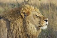 blur, wilderness, lion