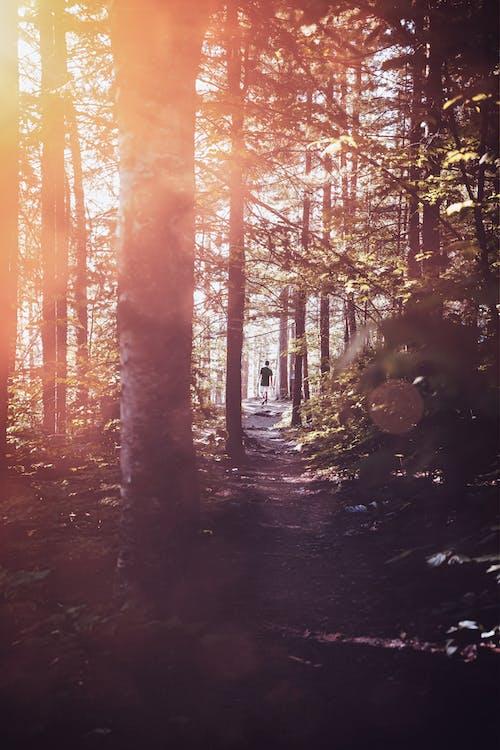 Immagine gratuita di alba, alberi, albero, boschi