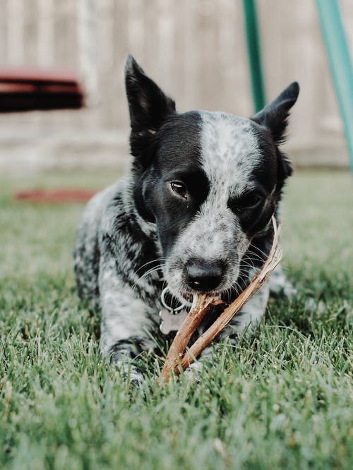 Dog Chewing Stick in Grass