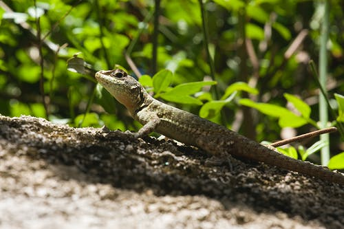 Selective Focus Photo of Brown and Green Lizard