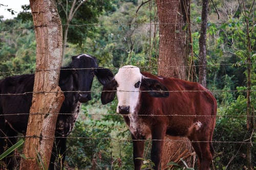 Free stock photo of animal, catte, cow