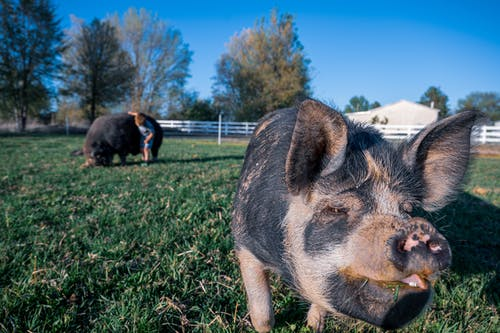 Black and Brown Pig on Green Grass Field