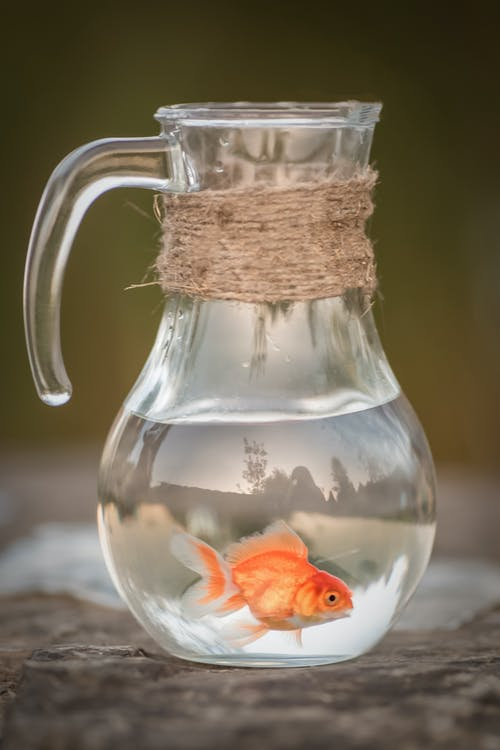 Orange Fish in Clear Glass Pitcher