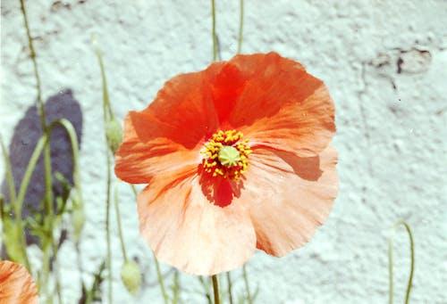 Fotos de stock gratuitas de Dinamarca, Flor de Amapola, flores