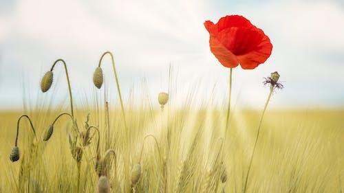 Photos gratuites de blé, campagne, céréale, clairière