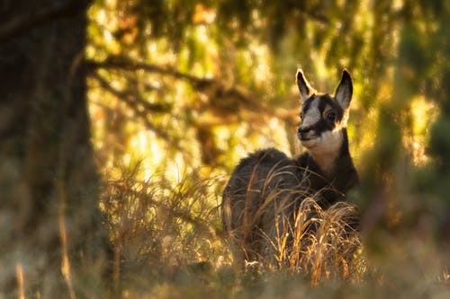 Free stock photo of chamois, early sunrise, forest nature, mother nature