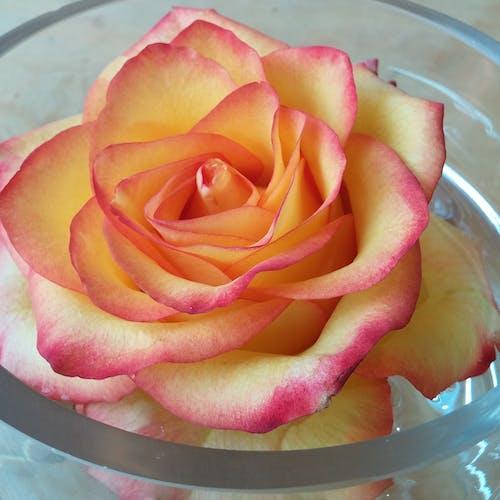 Kostnadsfri bild av perfekt ros