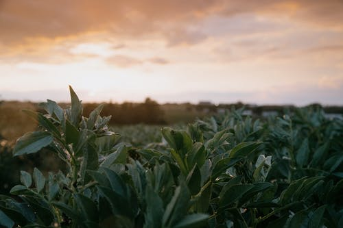 Green leaves of plant branches growing in agricultural plantation in farmland in countryside at sunset