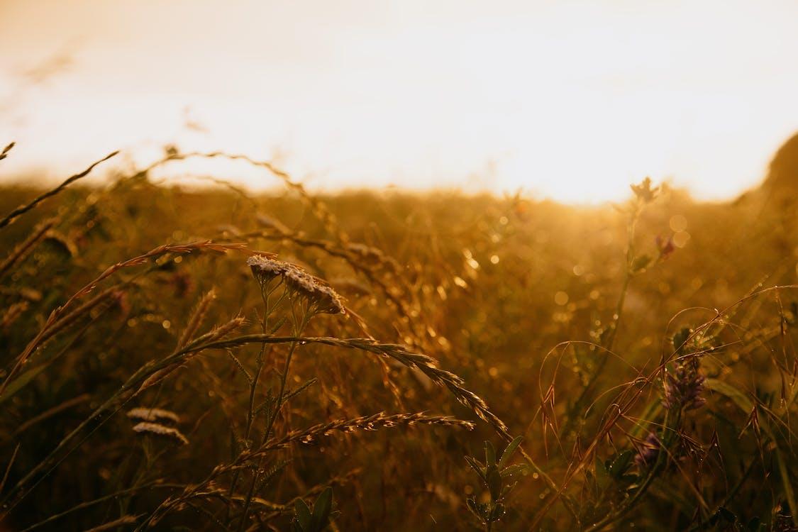 Gratis stockfoto met akkerland, gouden uur, gras