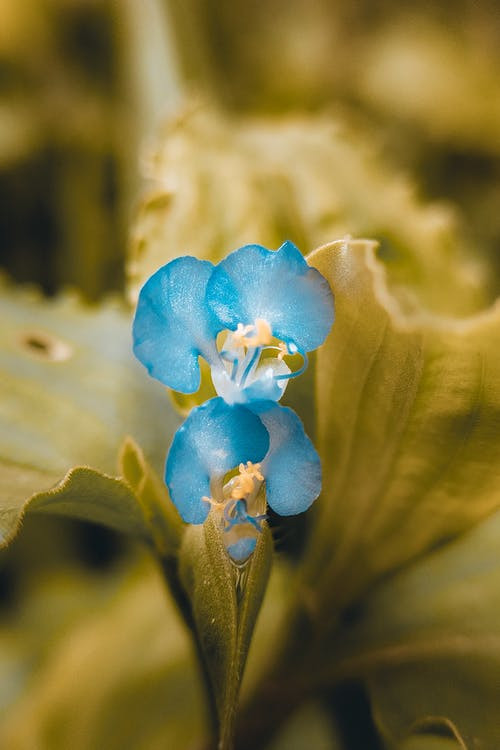 Blue Flower in Macro Shot