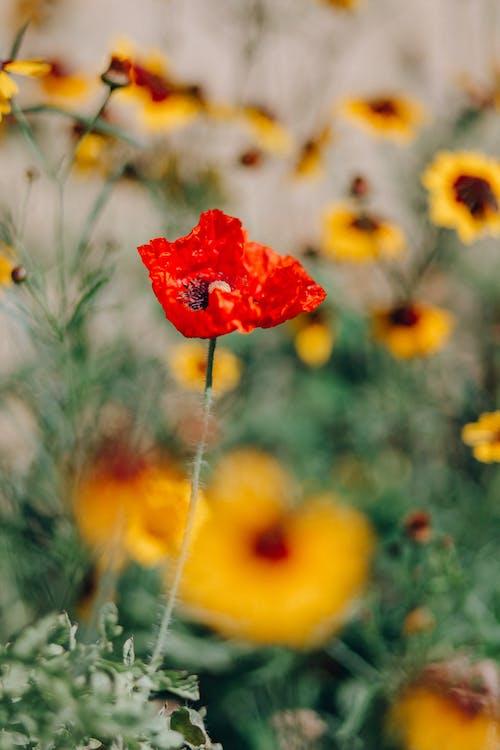 คลังภาพถ่ายฟรี ของ ดอกไม้, ต้นป๊อปปี้, ต้นไม้