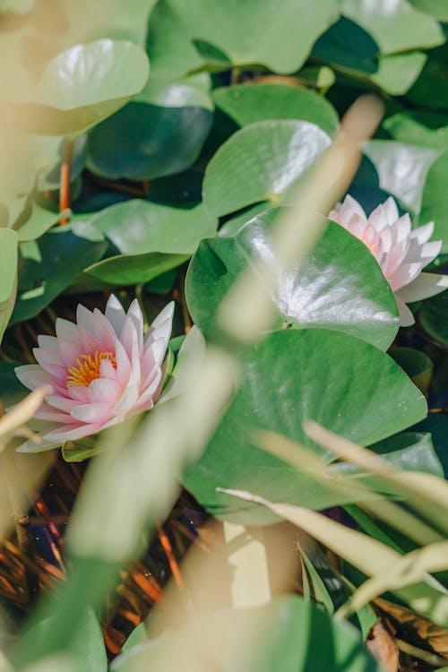 Foto d'estoc gratuïta de estany, flor, florir