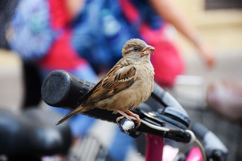 Selective Focus Photography of House Sparrow Perching on Brake Lever of Bicycle