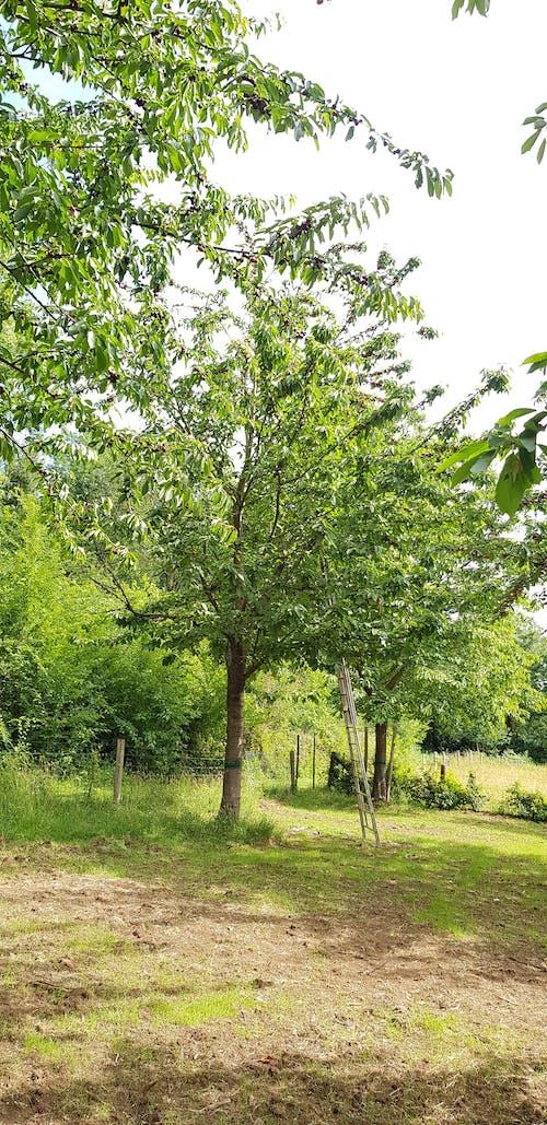 Free stock photo of cherry picking, cherry tree with ladder, fruit, Fruit Picking