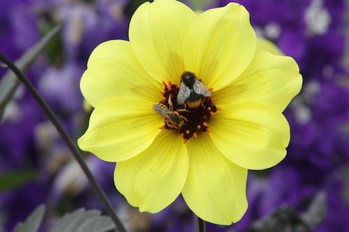 Foto stok gratis bunga, lebah, Perancis, polen