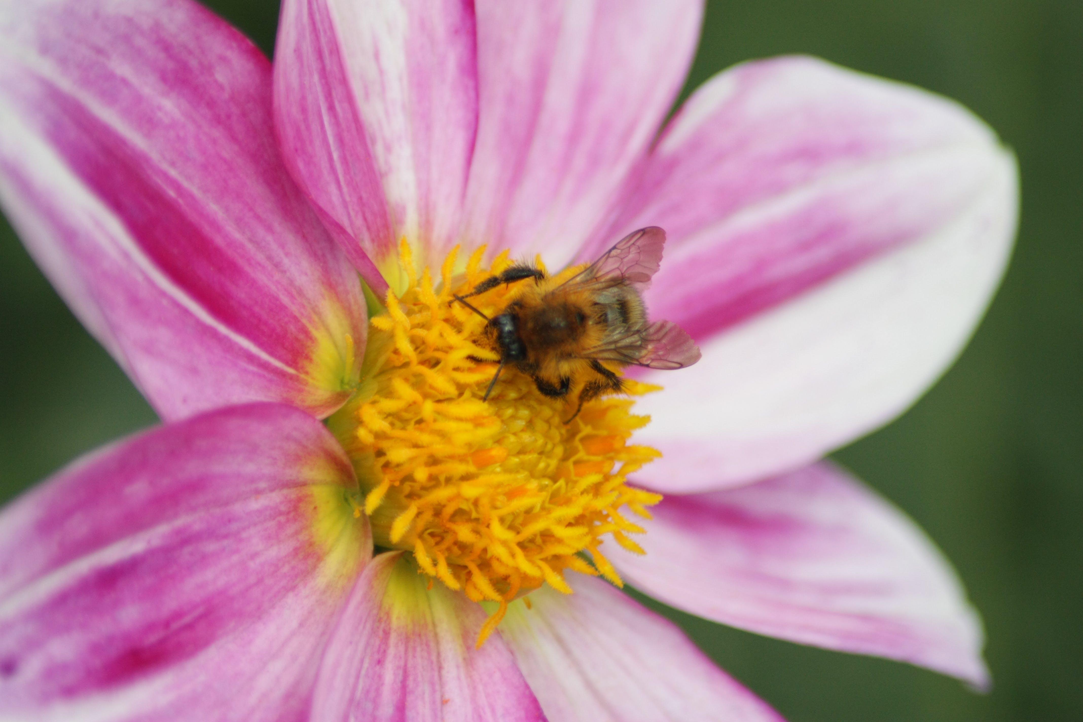 Fotos de stock gratuitas de abeja, flor, Francia, jardines