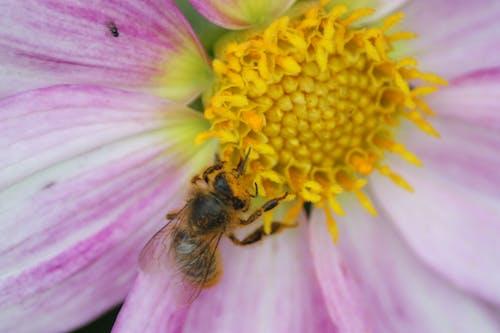 Imagine de stoc gratuită din albină, floare, franța, grădini