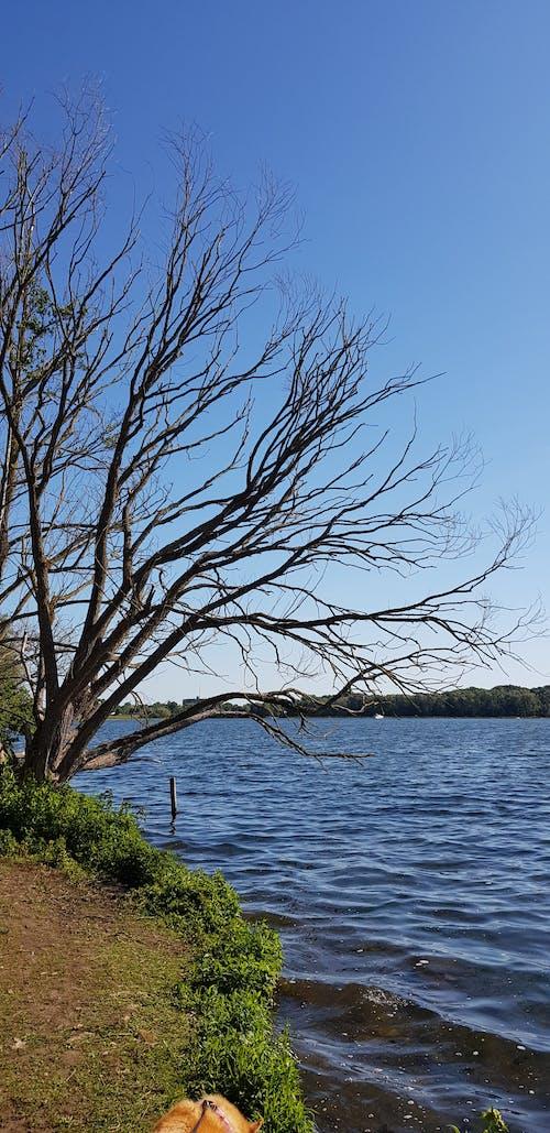 Free stock photo of dead tree, lake, shore, tree