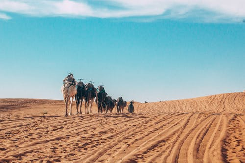 People Riding Camels on Desert