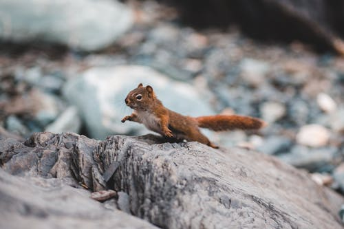 Brown Squirrel on Gray Rock