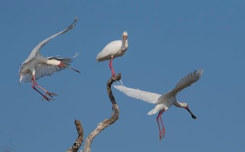 Kostnadsfri bild av fågel, safari, skedräkning, vild