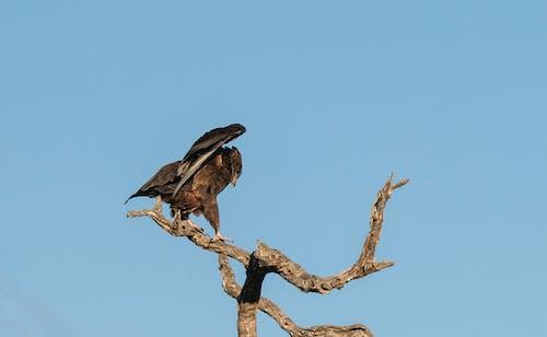 Kostnadsfri bild av fågel, rovfågel, vild, vildfågel