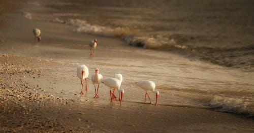 White Pelicans on Beach Shore