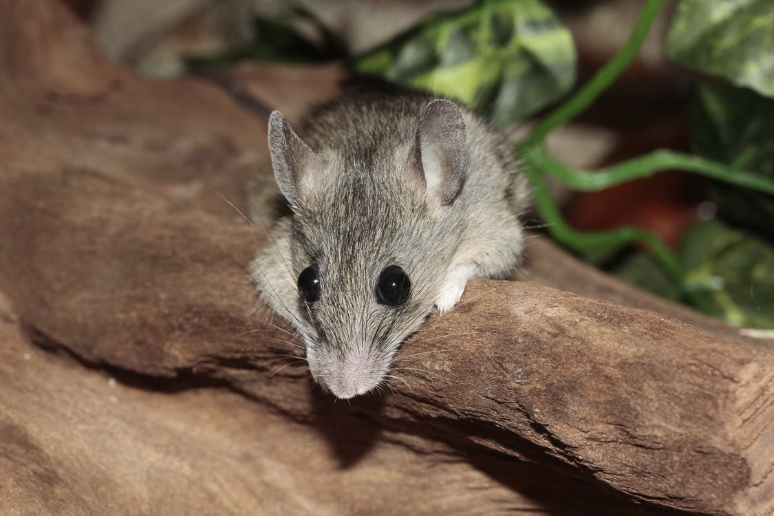 Grey Mouse at the Brown Rock