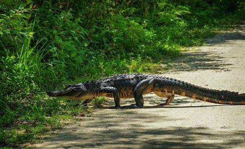 Photos gratuites de alligator, animal, espace extérieur
