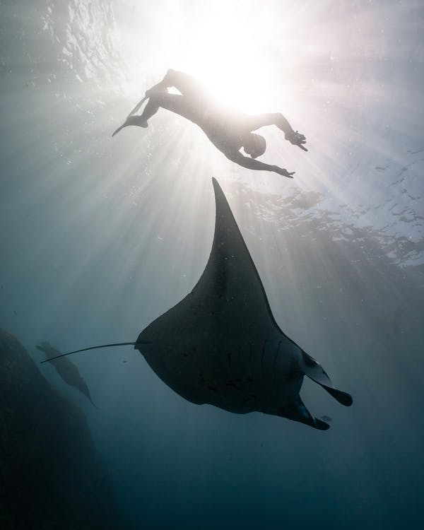 From below of underwater view of scuba diver swimming with big dangerous fish in blue ocean