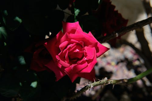 Free stock photo of garden roses, rose