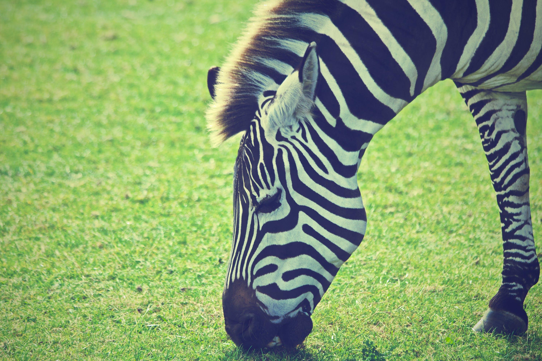 Kostenloses Stock Foto zu afrika, gras, säugetier, tier