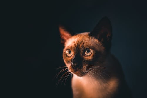 Brown and White Cat With Black Background