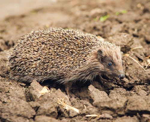A Close-Up Shot of a Hedgehog on Brown Soil
