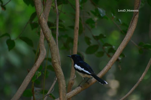 Free stock photo of birds, Magpie Robin, robin