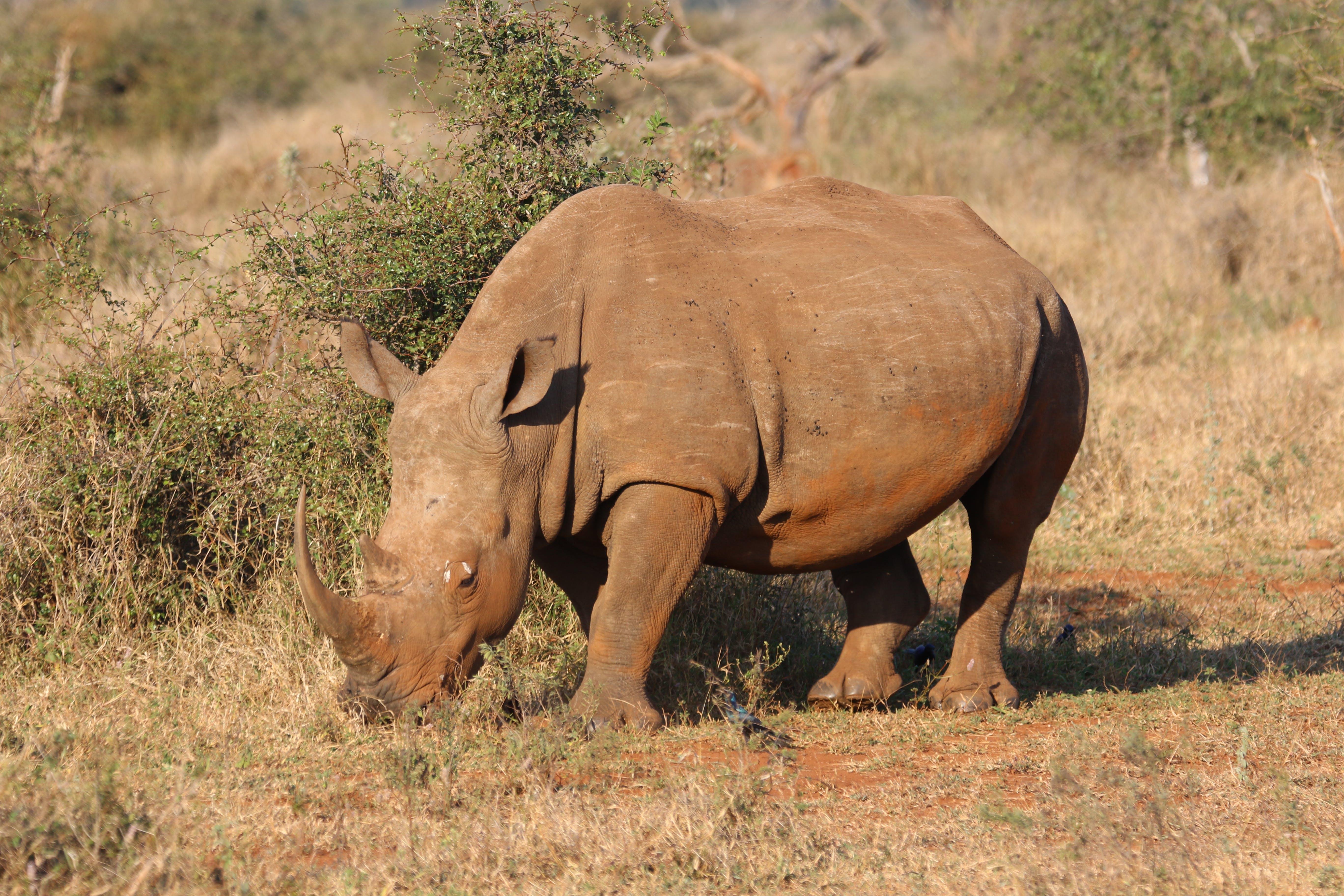 Brown Rhino in Green Open Field