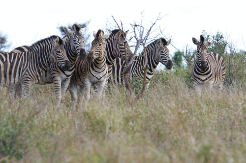 Zebra Herd Tilt-shift Lens Photography