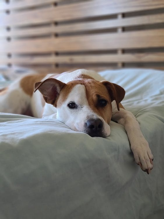 Brown and White Short Coated Dog Lying on Bed
