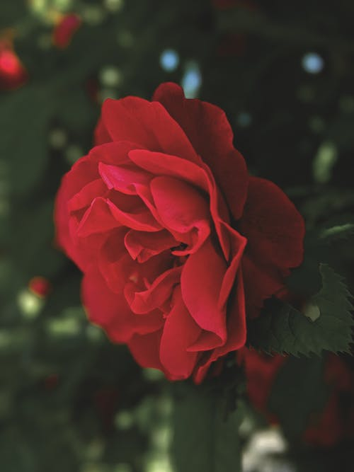A Close-Up Shot of a Red Rose